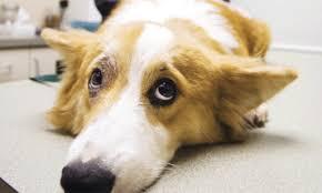 Опухоли молочной железы у собак, диагностика и соответствующее лечение.